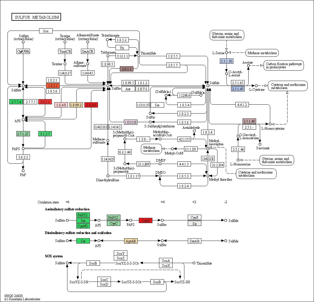 Figure. Sulfur metabolism pathway in garlic transcriptome generated by KEGG.